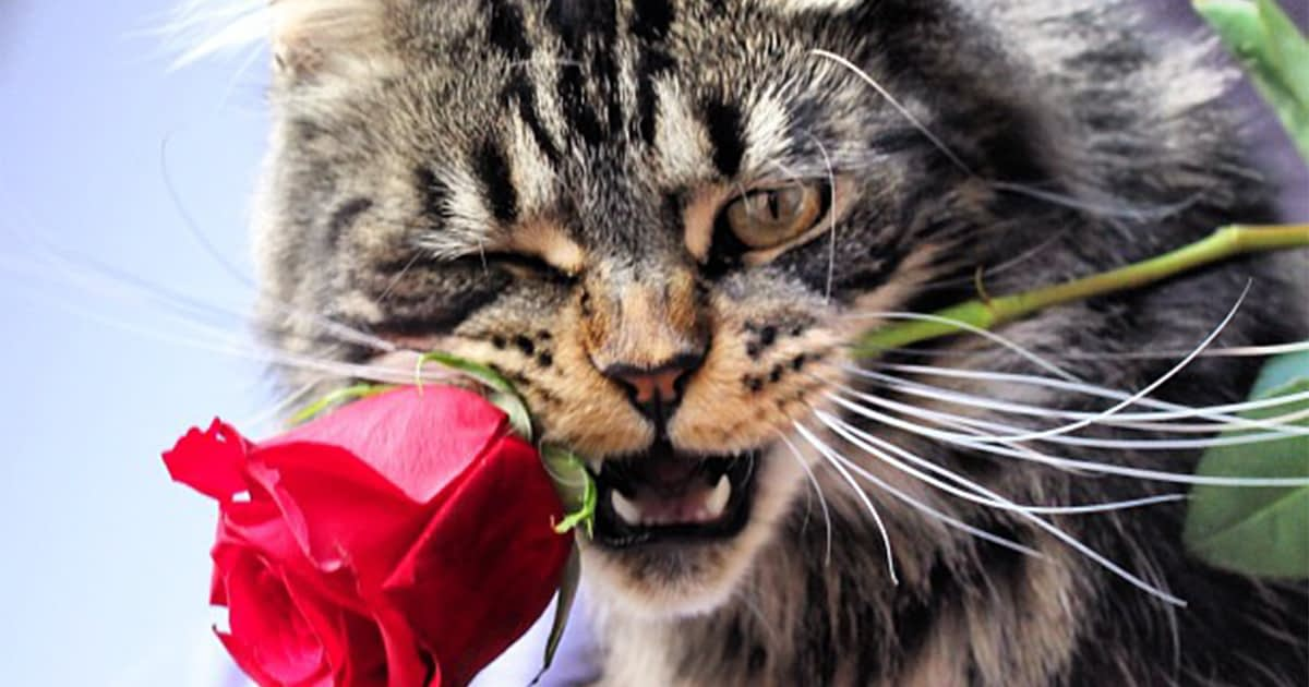 Valentine's Day cat holding a rose in his mouth
